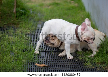 Cute Baby French Bulldog Pet Playing Stock Photo Edit Now
