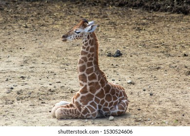 Cute baby giraffe sat on the ground on its own enjoying the sun. Profile shot of a baby giraffe sat down showing its legs tucked under its body.
