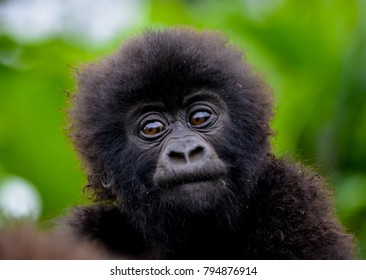 Cute baby gorilla  in the Rwanda forest