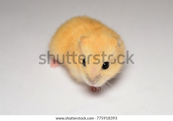 Cute Baby Hamster Stock Photo (Edit Now) 775918393
