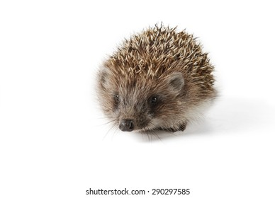 Cute baby hedgehog isolated on white background.