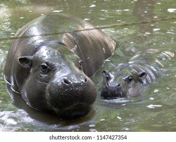 Cute baby hippo and adult hippopotamus in water