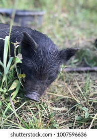 A cute baby hog