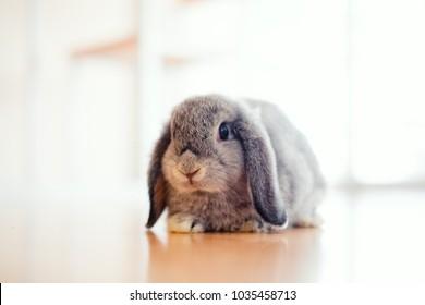 cute Baby Holland lop rabbit on wooden floor