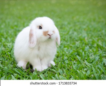 Cute baby holland lop white and brown rabbit sitting on the green grass. Lovely action of baby rabbit.