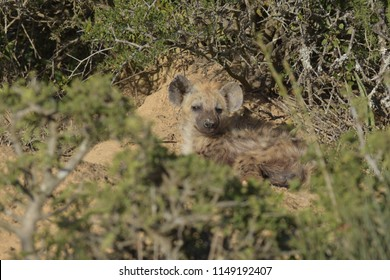 Cute baby hyena lying between the bushes at Addo Elphant National Park, South Africa