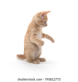 Cute baby kitten playing and on hind legs on white background