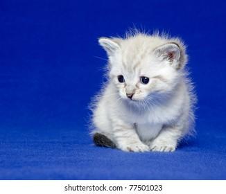 Cute baby kitten sitting on blue background