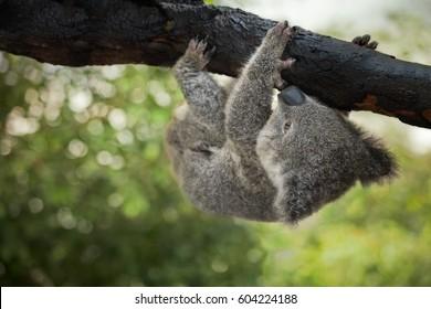 A cute baby koala bear hanging from a tree, Queensland, Australia. Shallow depth of field.