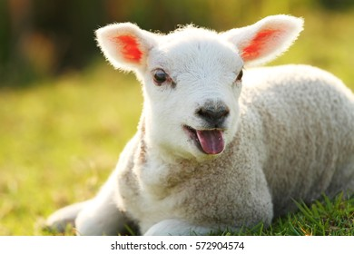 Cute baby lamb lying on grass bleating