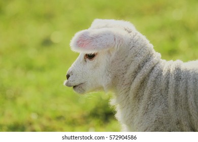 Cute baby lamb profile with pursed lips