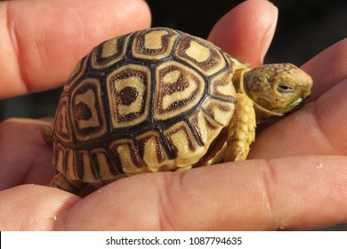 Cute baby leopard tortoise sleep on hand,Leopard tortoise walking slowly and sunbathe on ground with his protective shell