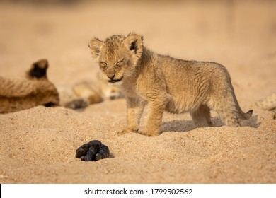 Cute baby lion smelling poop with a very funny look on his face in Kruger Park South Africa
