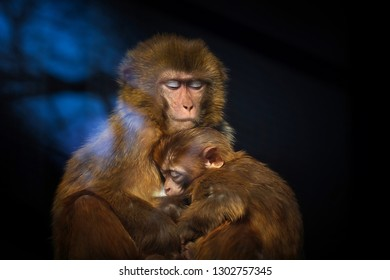 Cute baby monkey sleeping in arms of mother monkey