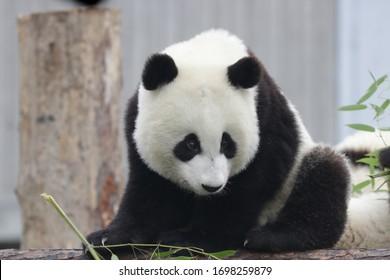 Cute Baby Panda on the Playground ,Wolong Giant Panda Nature Reserve, China