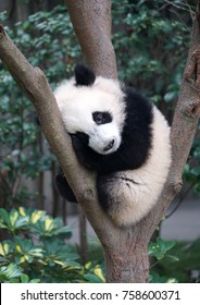 Cute baby panda sleeping on the tree exterior
