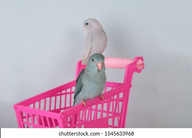 Cute baby parrotlet or forpus parrot stand on pink basket toy blue background