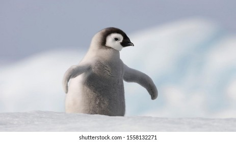 Cute Baby Penguin In The Snow