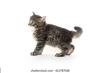 Cute baby pet tabby kitten standing and playing isolated on white background