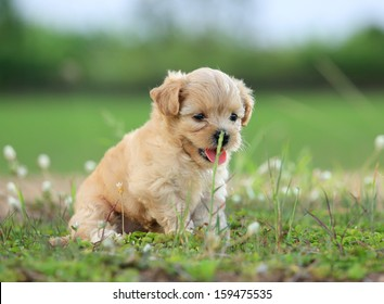 Cute Baby Poodle Dog