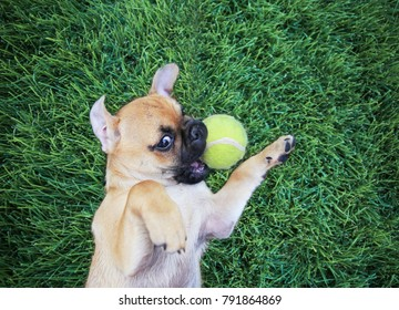 cute baby pug chihuahua mix puppy playing with a yellow tennis ball in the grass during summer
