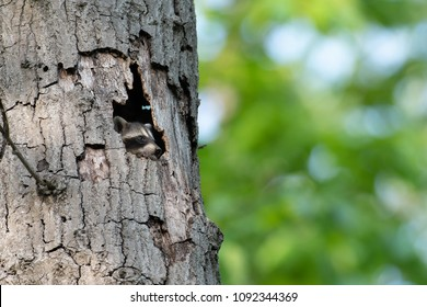 Cute baby raccoon peeking out of a hole in a large dead tree in the woods.