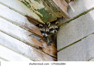 Cute Baby raccoons climb out of hole in old building