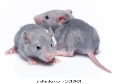 cute baby rats resting on white background