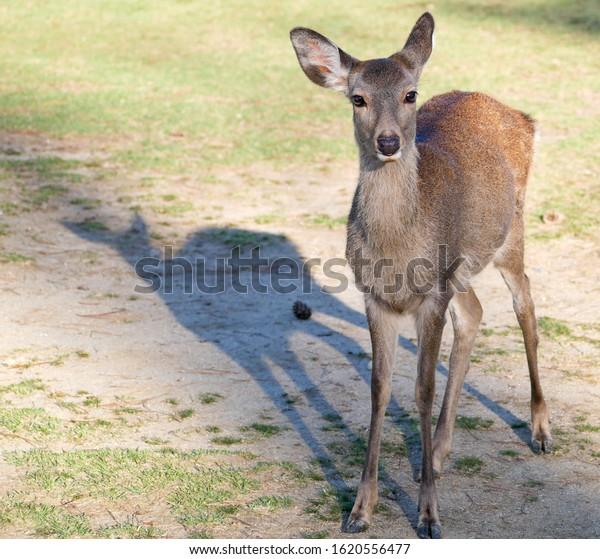 Cute baby sacred deer roaming around Nara park in Nara - ancient capital of Japan in autumn
