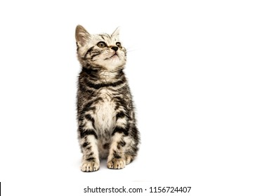 A cute baby scottish straight gray kitten sits isolated on a white background and looking up.