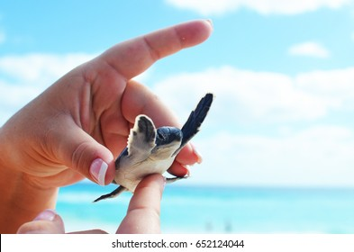 Cute baby sea turtle being held at beautiful beach in the summer.  Bright blue ocean water and sky in background.  Great coastal image.