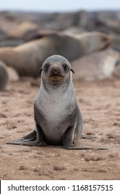 Cute baby seal animal portrait looking at camera, seal colony, Namibia