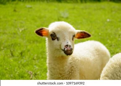Cute baby sheep. Lamb in spring meadow.