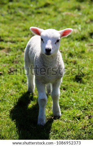 Cute Baby Sheep looking directly into the Camera