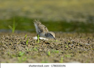 Cute baby Spotted Sandpiper bird