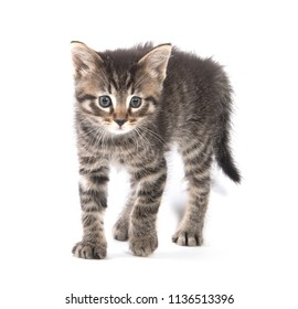 Cute baby tabby kitten arching its back isolated on white background