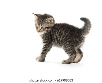 Cute baby tabby kitten arching its back with its tail up on white