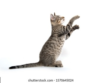 Cute baby tabby kitten jumping and playing isolated on white background