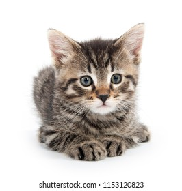 Cute baby tabby kitten laying down isolated on white background