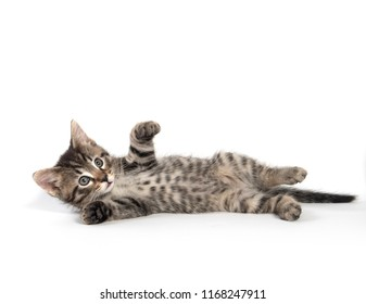 Cute baby tabby kitten laying down and playing isolated on white background