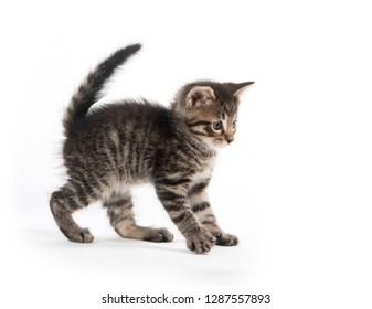 Cute baby tabby kitten lifting its paw isolated on white background