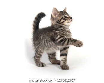 Cute baby tabby kitten looking up isolated on white background