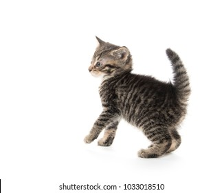Cute baby tabby kitten with paw up isolated on white background