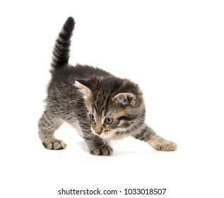 Cute baby tabby kitten ready to pounce isolated on white background