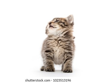 Cute baby tabby kitten sitting on white background