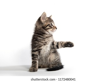 Cute baby tabby kitten sitting isolated on white background