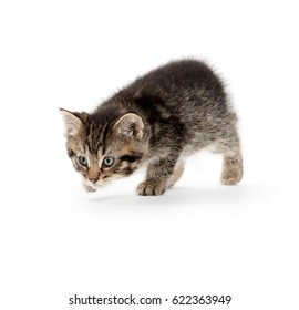 Cute baby tabby kitten stalking prey isolated on white background