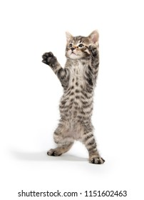 Cute baby tabby kitten standing on its hind legs isolated on white background