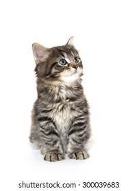 Cute baby tabby kittenplaying isolated on white background