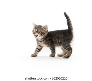 Cute baby tabby standing on white background